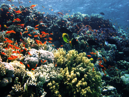 freediving: The coral reef on the sand bottom. Underwater paradise for scuba diving, freediving. Red sea, Dahab, Egypt.