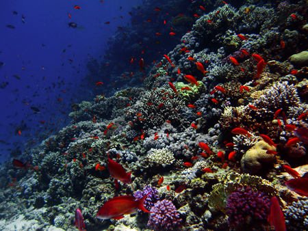 red coral colony: The coral reef on the sand bottom. Underwater paradise for scuba diving, freediving. Red sea, Dahab, Egypt.