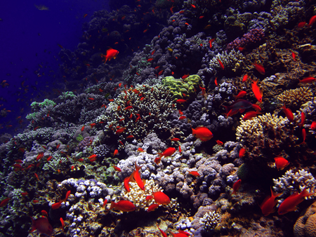 redtail: The coral reef on the sand bottom. Underwater paradise for scuba diving, freediving. Red sea, Dahab, Egypt.