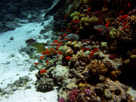 Red small fish with hard and soft colals. Coral reef on the sand bottom. Underwater paradise for scuba diving, freediving. Red sea, Dahab, Egypt.