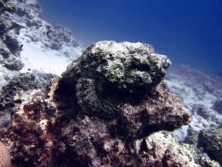 stonefish: Dangerous stone fish, underwater world, Egypt, Dahab, Red sea.
