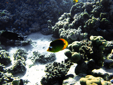 redtail: Small fish with hard colals. Coral reef on the sand bottom. Underwater paradise for scuba diving, freediving. Red sea, Dahab, Egypt. Stock Photo