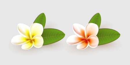 Plumeria flower with leaves isolated on white background. Realistic style. Vector illustration.