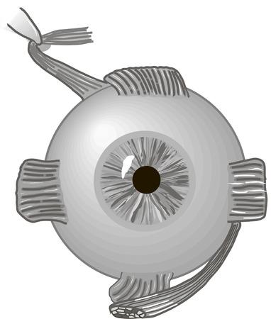 macula: eyeball
