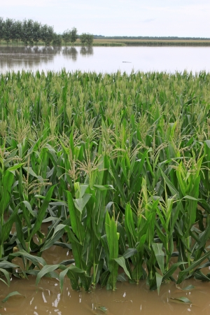 Luannan, August 4:Corn in the flood waters on August 4, 2012, Luannan, Hebei, China. 