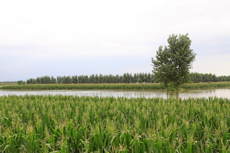 Luannan, August 4:Maize and trees in the flood on August 4, 2012, Luannan, Hebei, China. Stock Photo - 18565154