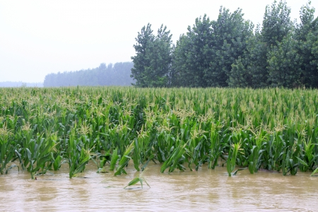 Luannan, August 2  trees in the flood on August 2, 2012, Luannan, Hebei, China    Stock Photo - 18613678