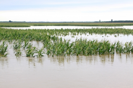 Luannan, August 4 Corn in the flood waters on August 4, 2012, Luannan, Hebei, China    Stock Photo - 18613697