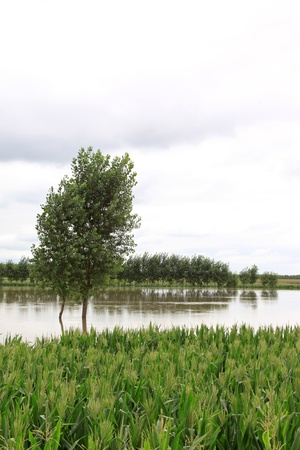 Luannan, August 4 Maize and trees in the flood on August 4, 2012, Luannan, Hebei, China    Stock Photo - 18613702