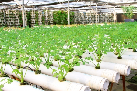 soilless cultivation: celery cultivation in a plantation, Qinhuangdao, China