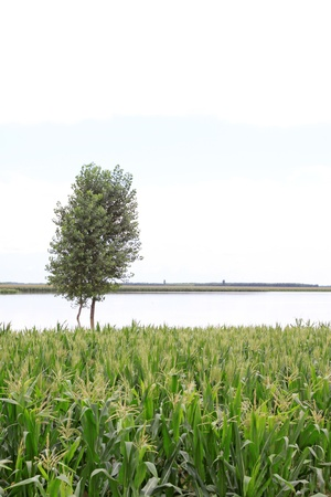 Maize and trees in the flood on August 4, 2012, Luannan, Hebei, China. Stock Photo - 18999135