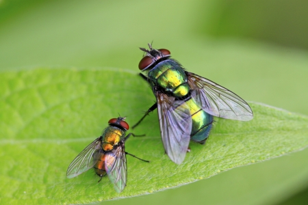 two Calliphora erythrocephala on green leaf