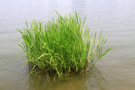 hydrophyte: hydrophyte in a river, north china