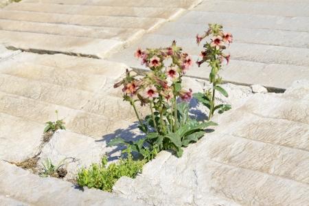 Fleurs de Rehmannia glutinosa dans la nature, Chine du Nord Banque d'images - 20898307