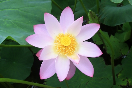 lotus flowers blooming in summer, very beautiful