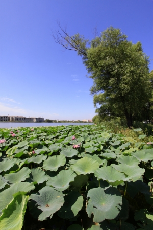 Lotus in full bloom in the water, in a park, north china photo