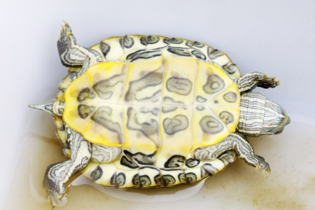 abdomen of Brazilian tortoise on a white background