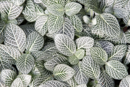 arboretum: Pilea notata leaves in a garden, north china Stock Photo