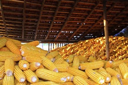drying corn cobs: piles of corn bonzi material