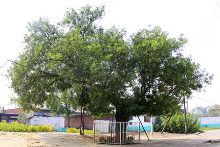 protected tree: protected ancient big pagoda tree in the village, China