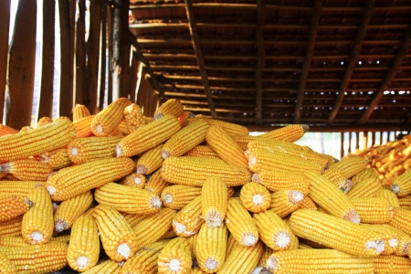 drying corn cobs: piles of corn bonzi material