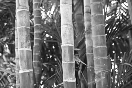 Brown bamboo stalks in a garden, north china