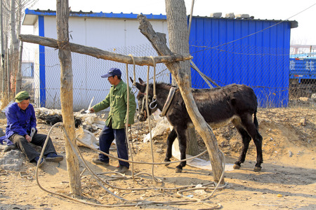 bundling: LUANNAN COUNTY - MARCH 23: Craftsmen giving a donkey shod on march 23, 2014, luannan county, hebei province, china   Editorial