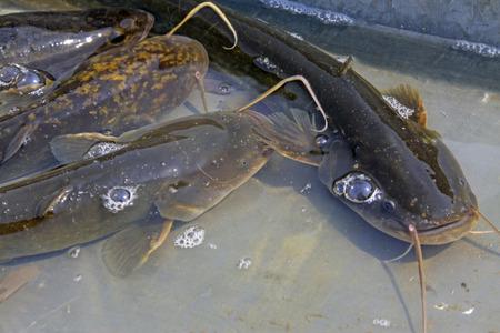 catfish swimming in the pool, closeup of photo