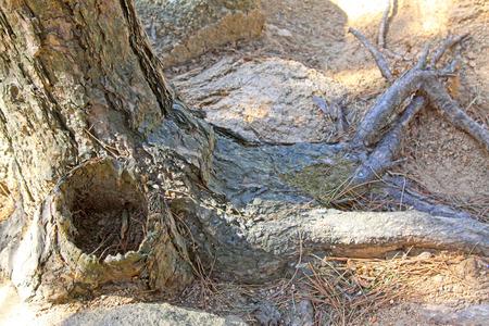 physiological: ra�z seca en el suelo, primer plano de la foto Foto de archivo