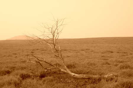 Dead trees in the WuLanBuTong grassland, Inner Mongolia autonomous region, China.   photo