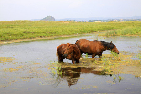 horses in the water in the WuLanBuTong grassland, Inner Mongolia autonomous region, China.   photo