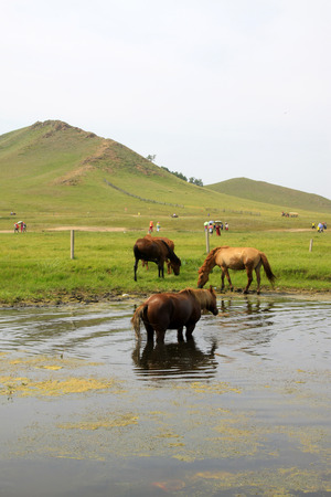 mongolia horse: horses in the water in the WuLanBuTong grassland, Inner Mongolia autonomous region, China.   Stock Photo