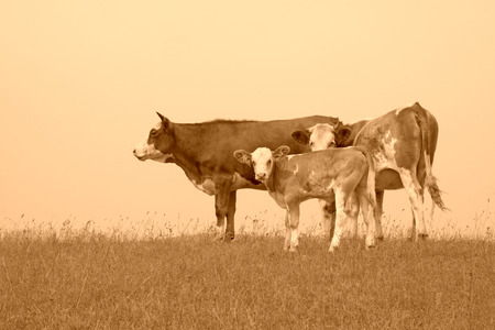 herds cattle in the grassland photo