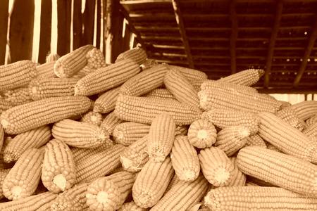drying corn cobs: piles of corn bonzi material, closeup of photo