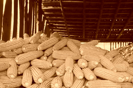 drying corn cobs: piles of corn bonzi material, closeup of photo
