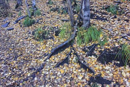 physiological: viejas ra�ces de los �rboles en el suelo, primer plano de la foto Foto de archivo