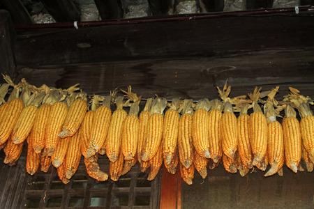 dry corn under the eaves, closeup of photo Stock Photo