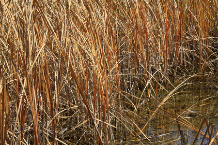 rushes: dry rushes in the wild, closeup of photo Stock Photo