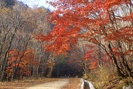 maple trees: Maple trees and roads in a geological park, closeup of photo