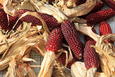 aureate: red corn, closeup of photo