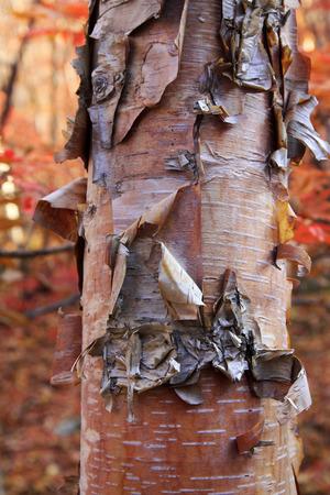 trunk  tree: Abedul tronco de �rbol