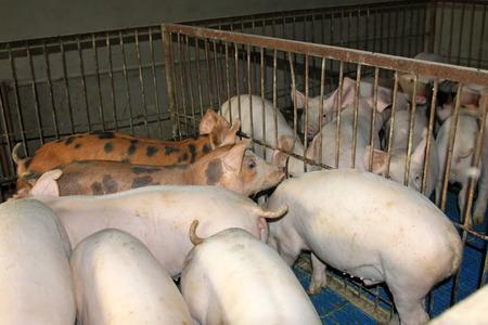 Lean hogs in a farm, closeup of photo photo
