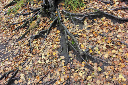 physiological: old tree roots on the ground, closeup of photo Stock Photo