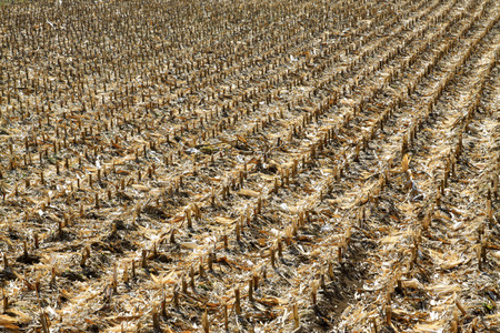 Corn stubble in the fields, closeup of photo Stock Photo