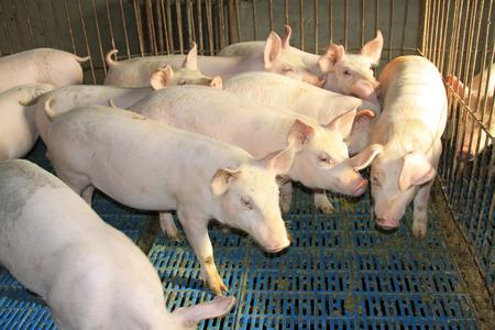 Lean hogs in a farm, closeup of photo