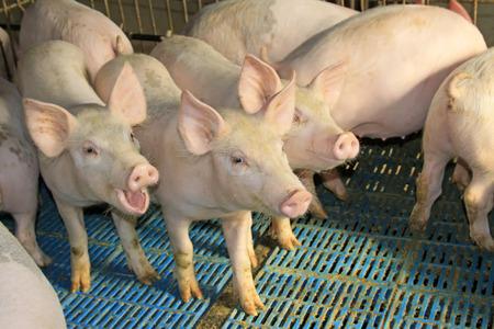 リーンのクローズ アップ写真のファームで豚します。 写真素材