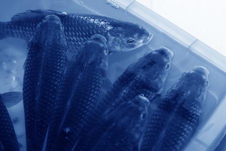 crucian carp: crucian carp swimming in a pool, in a farm, china Stock Photo