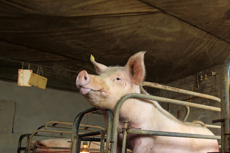 animal husbandry: Pig in the farm Editorial