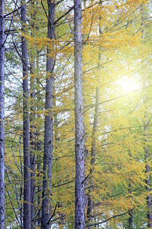 irradiation: pine tree, closeup of photo
