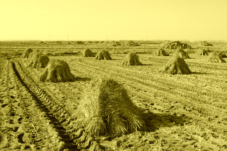 rut: rut and piles of rice in the fields in rural areas, China Stock Photo